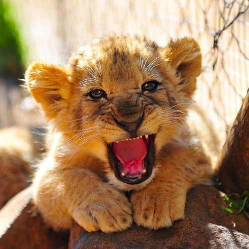 lions cute cubs roar growl - 8184011008