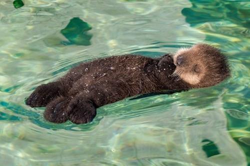 Babies Fluffy cute otters sleeping - 8184016384