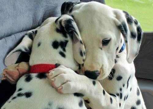 dogs puppies dalmations love hug - 8185188608