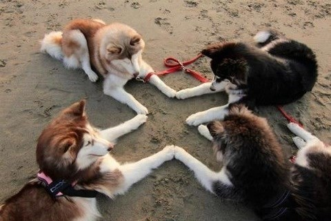 dogs,meeting,beach,huskies,secret handshake