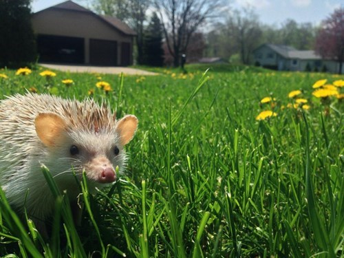 ouch cute grass hedgehogs sunny - 8185207040