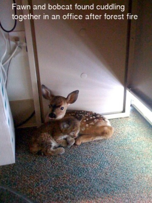 Babies,cute,bobcat,friends,fawn