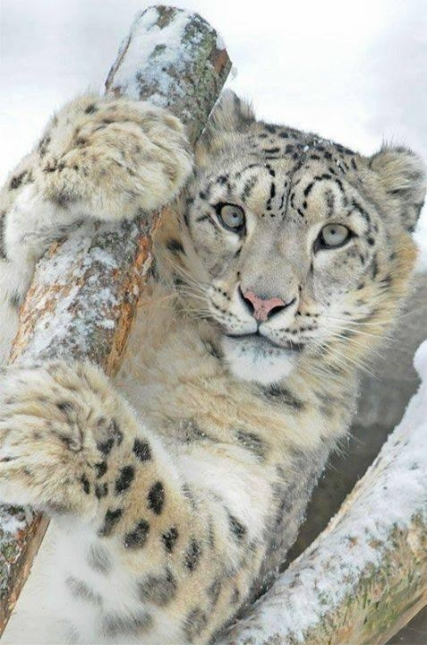 snow leopard - 8185446656