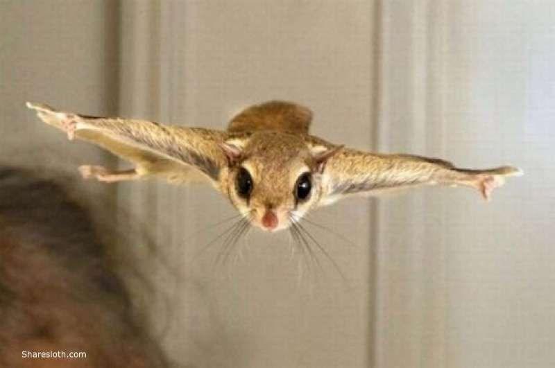 gliding squirrel flying - 8186117