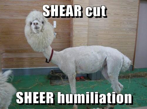 haircut llamas funny alpacas - 8186417408