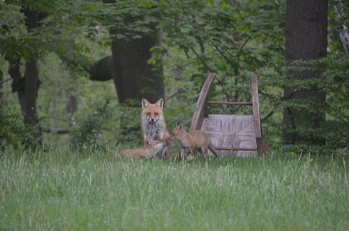 foxes Babies cute park - 8186430208