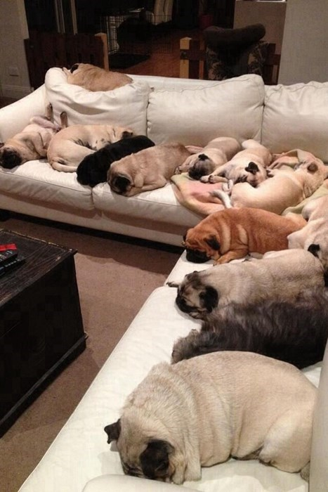 dogs cute pugs sleeping - 8186437632