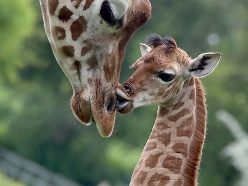 Babies kisses mama cute giraffes - 8186446336