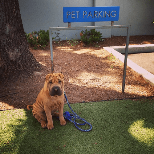 dogs wrinkles cars cute parking - 8186469888