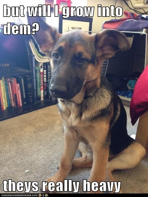 dogs,german shepherd,puppies,ears