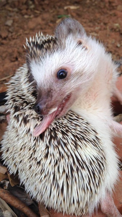 cute hedgehog - 8189034496