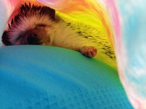 naps,hedgehog,sleep