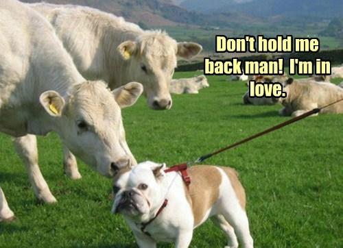dogs,bulldogs,cows