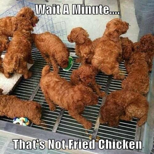 chicken puppies - 8189636864
