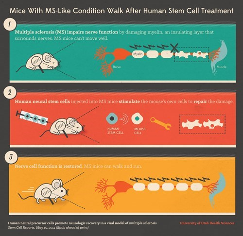 Mice With MS Like Symptoms Able to Walk After Stem Cell Treatments