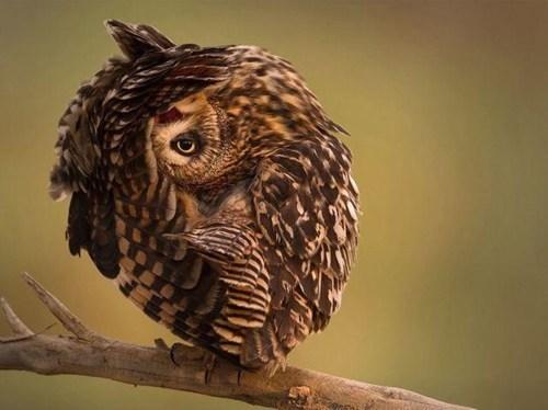Owl - 8192477696