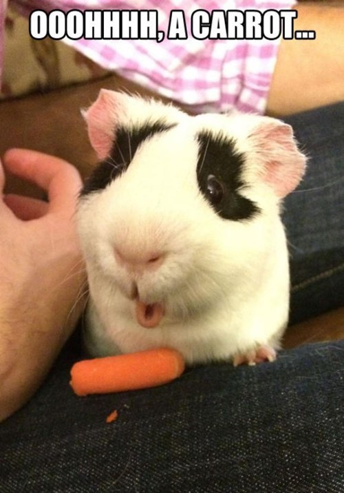 cute,carrots,guinea pigs
