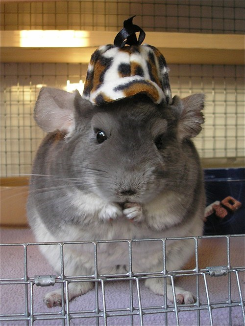 puns,cute,hat,chinchilla