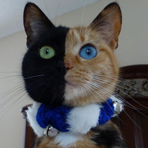 amazing,Cats,cute,half and half,fur