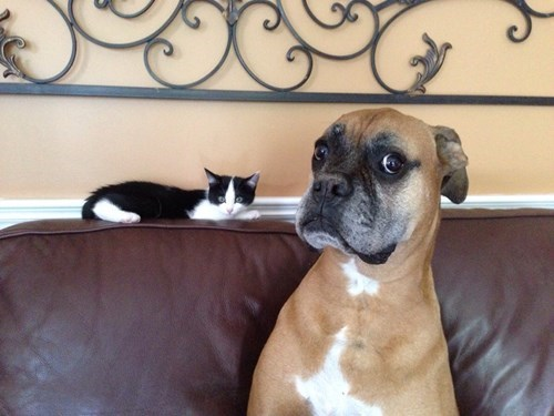 Cats,dogs,confused,friends,kitten
