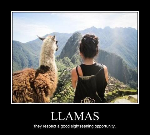llama,funny,sightseeing