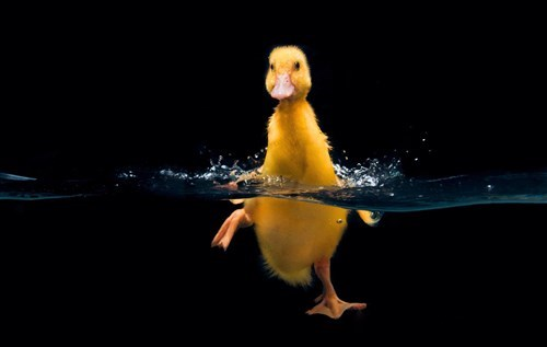 cute ducklings swimming - 8197122560