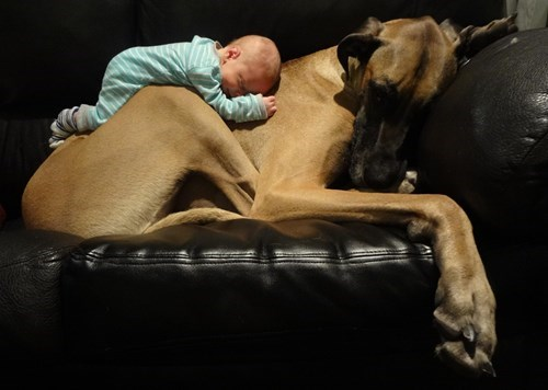 baby cute dogs great dane parenting - 8197155328