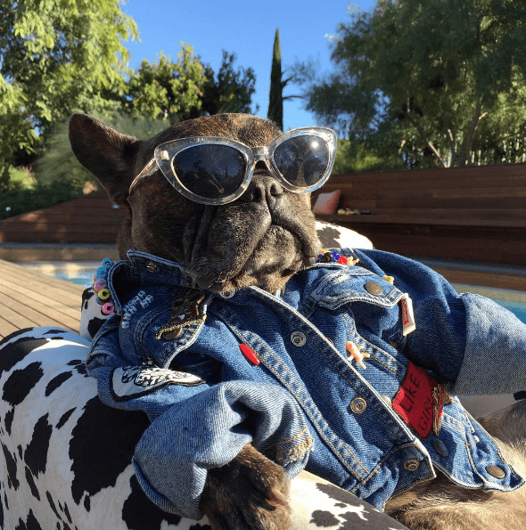 dog wearing sunglasses and a hoodie
