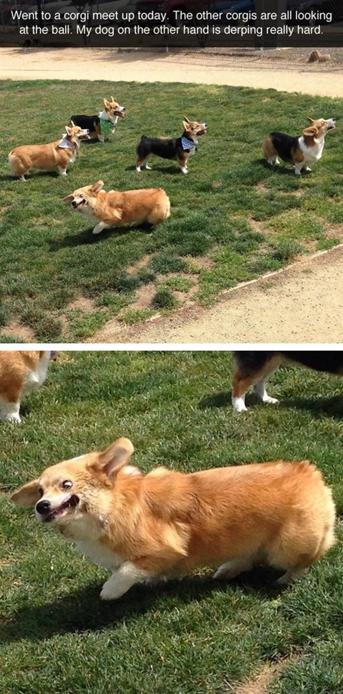 derp dogs corgi sneeze