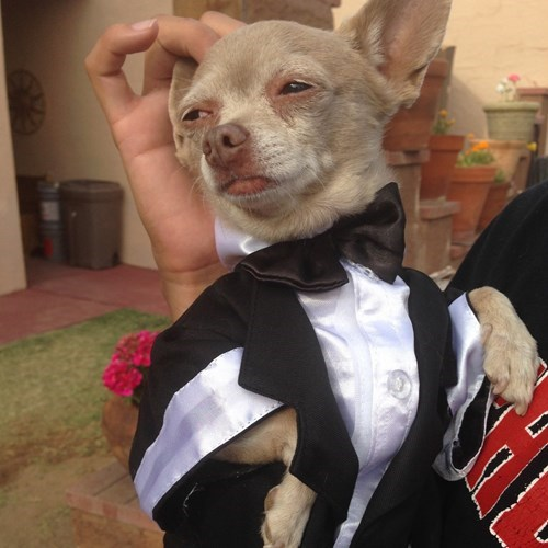 dogs tuxedo poorly dressed chihuahua - 8198087936