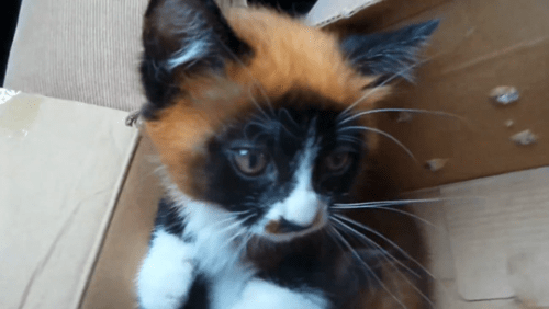 Cats China cute red panda mutation people pets - 8198151680