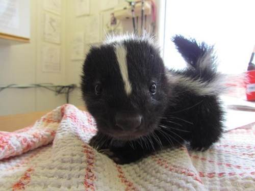 Babies,cute,skunks