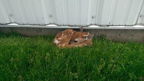 Babies cute deer fawn