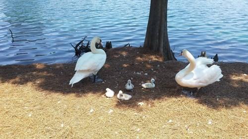 cute family swan - 8198433024