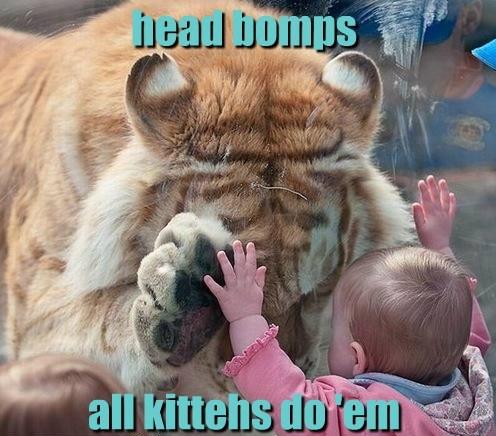 Babies kitten head bump tigers - 8202532352