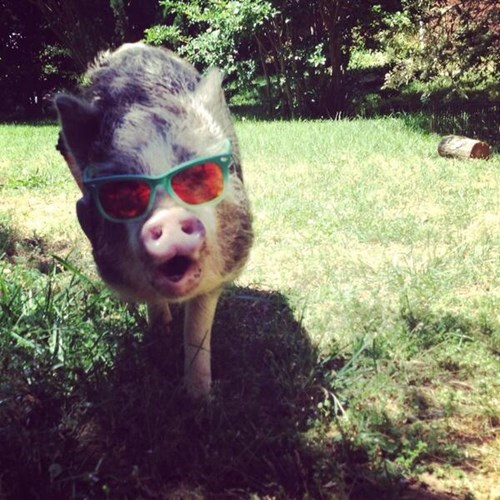 sunglasses,poorly dressed,pig,g rated