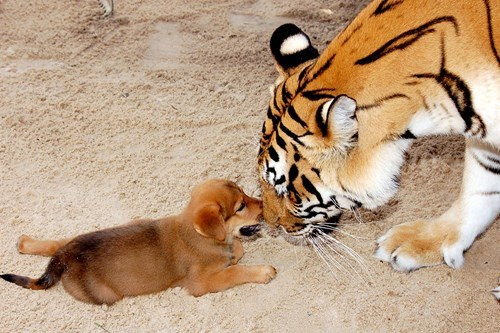 cute puppies love tigers - 8203711744