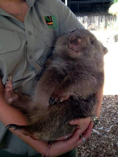 cute happy wombats - 8203716608
