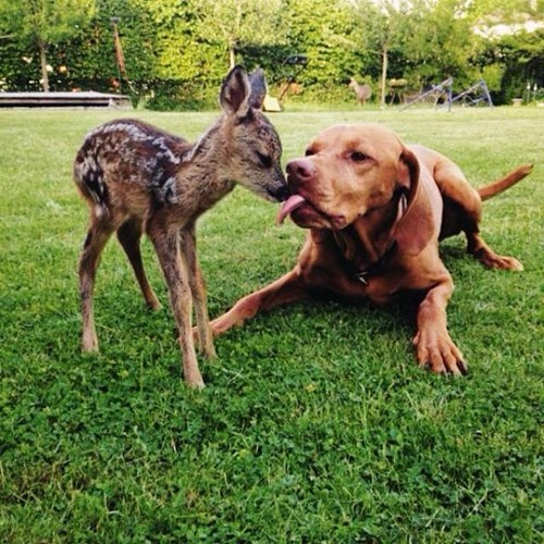 cute deer dogs friends fawn - 8203781632