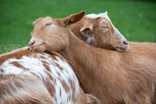 cute hugs goats love - 8204918272