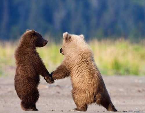 cute,bears,holding hands,friends,cubs,love