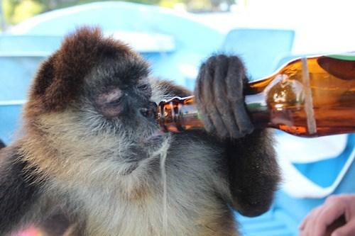 beer,funny,monkey