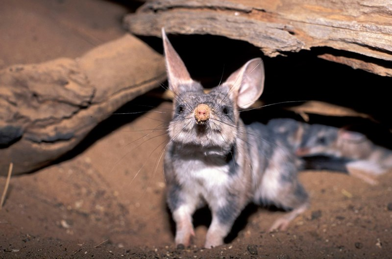 easter macrotis lagotis Bilby easter bilby australia the greater bilby - 8205061