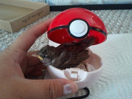 birds,IRL,pidgey,pokeball