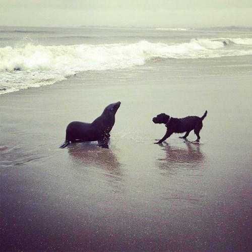 dogs sea lions ocean beach bark - 8205991680