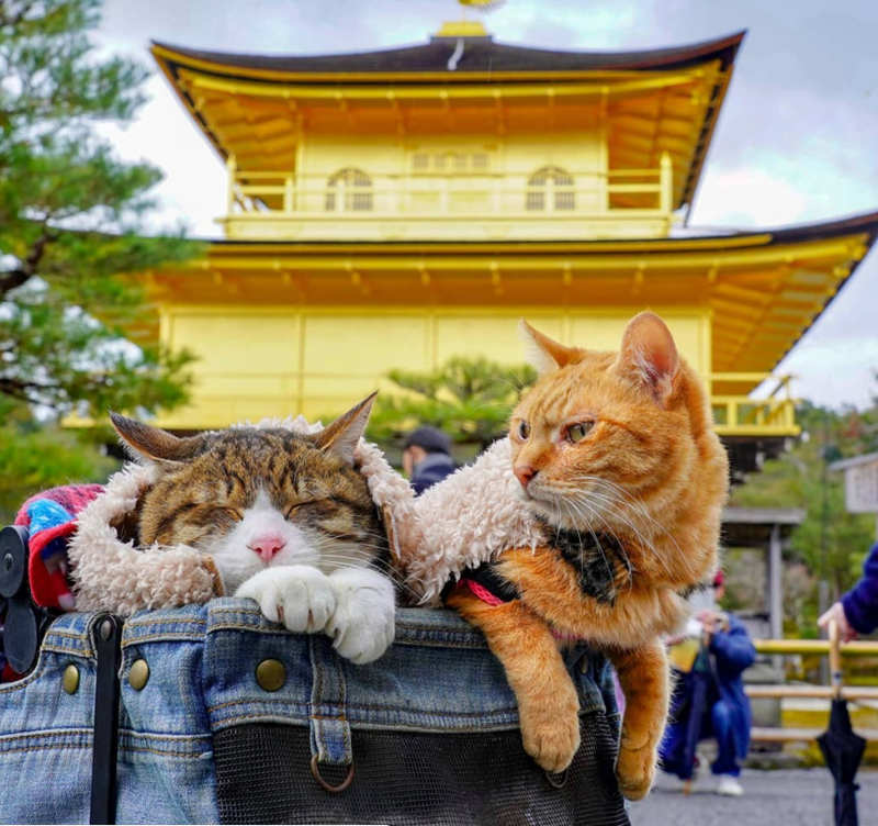 Japan traveling Cats rescue - 8206853