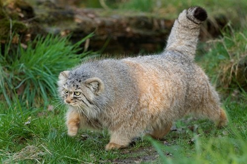 Fluffy cute big cats funny