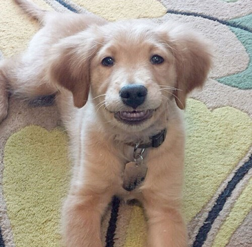 dogs puppies cute smile - 8208490240