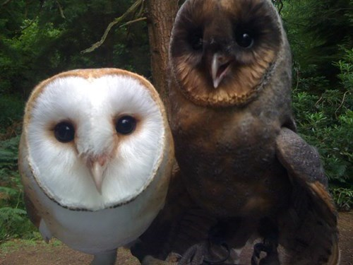 melanic,cute,owls,unique