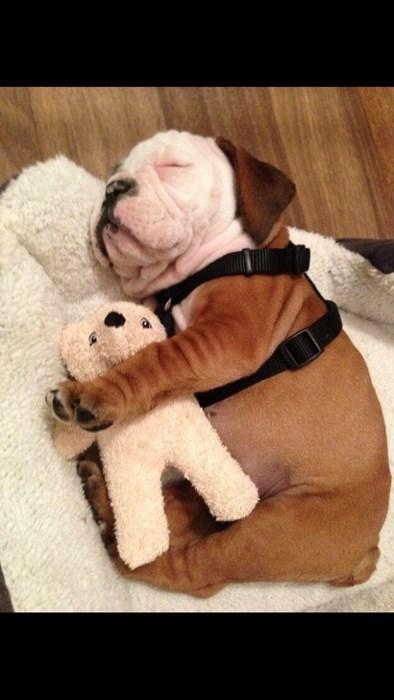 teddy bear snuggle bulldog puppies cute - 8210095360